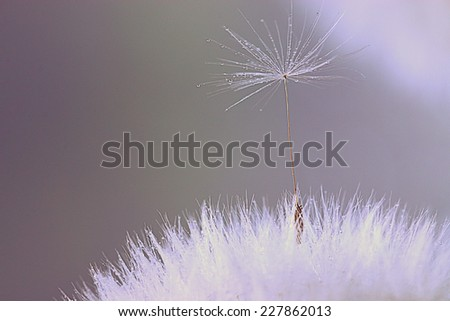 dandelion seeds macro ease - stock photo