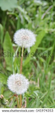 dandelion seeds on green - stock photo