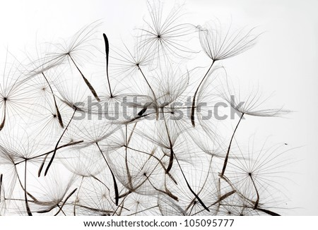 dandelion seeds over white background - stock photo