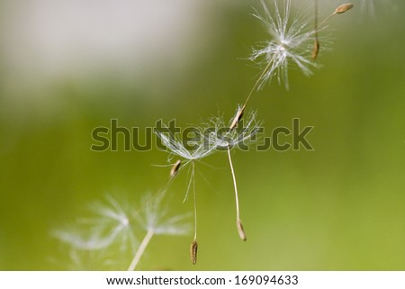 Dandelion seeds with natural background - stock photo