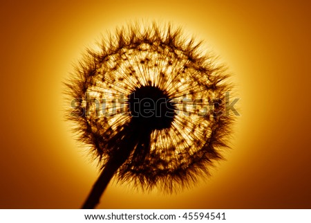Dandelion shot into golden setting sun - stock photo
