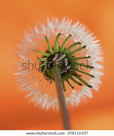Dandelion spring flower background ( - stock photo