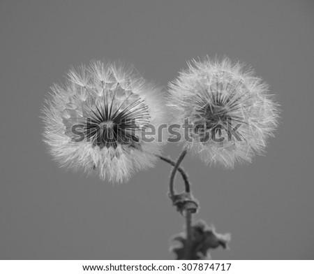 Dandelion spring flower background  - stock photo