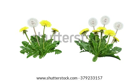 Dandelion Spring flowers, Garden Dandelion, Beautiful Dandelion flower digital illustration, Isolated on white background. Clip art flowers. - stock photo