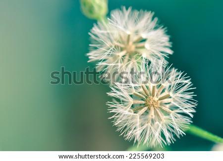Dandelion vintage background. - stock photo