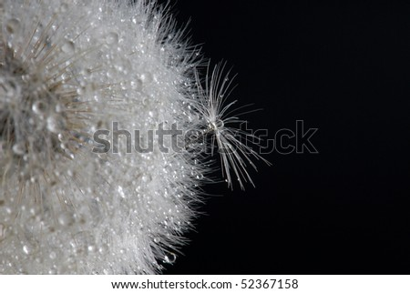 Dandelion with drops of water - stock photo