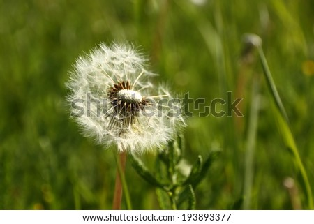 dandelion with flying seeds, close up - stock photo