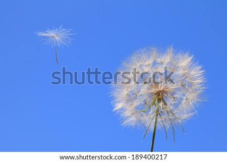 Dandelion with seed blowing away in the wind across a clear blue sky - stock photo