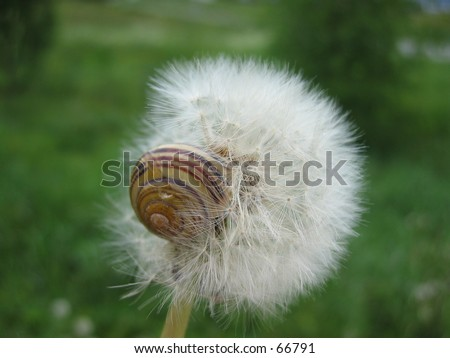 Dandelion with snail. - stock photo