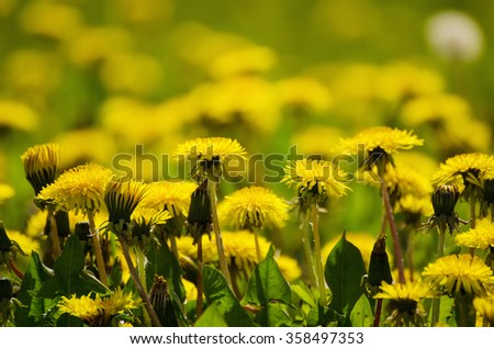 Dandelion yellow flower growing on the green meadow in spring time, natoral seasonal floral background with copy space - stock photo