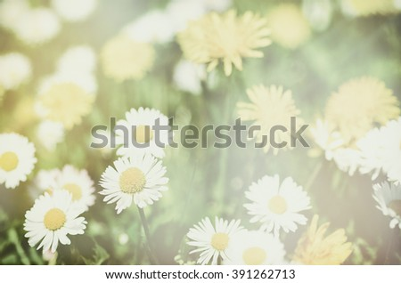 Dandelion yellow flowers and daisy growing on the meadow in spring time on the green grass, soft white tender pastel background - stock photo