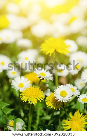 Dandelion yellow flowers and daisy growing on the meadow in spring time on the green grass with sun rays - stock photo