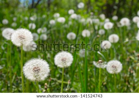 dandelions in a grass - stock photo