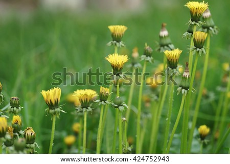 dandelions in morning not completely opened, shallow focus - stock photo