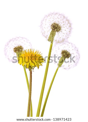 Dandelions isolated on white - stock photo