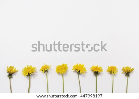 Dandelions lay flat on white background. Yellow summer flowers, lay flat - stock photo