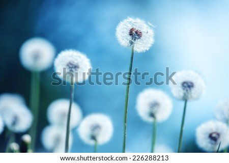 dandelions on blue background closeup - stock photo