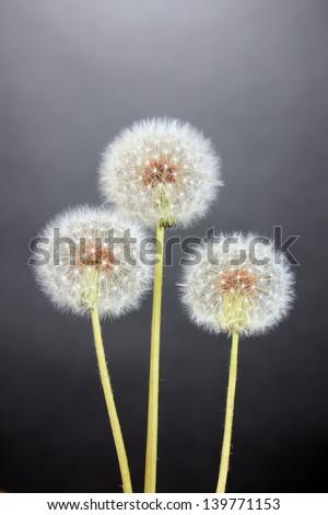 Dandelions on grey background - stock photo
