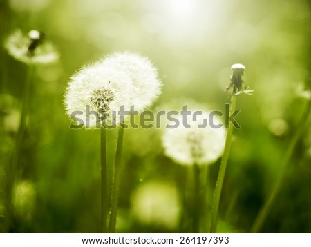 Dandelions on sunny meadow - stock photo