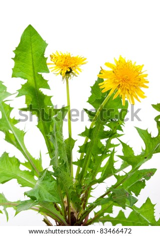 Dandelions (taraxacum officinale) - stock photo