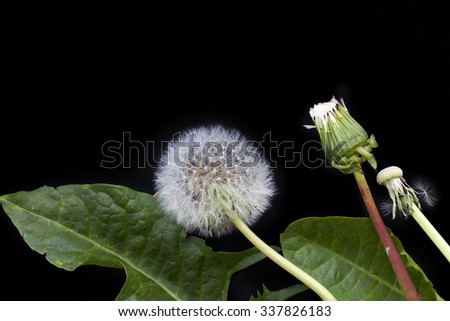 Dandelions with leaves on black background - stock photo