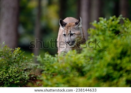 Danger Mountain Lion in the green forest - stock photo