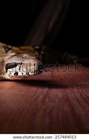 dangerous big snake crawling - stock photo