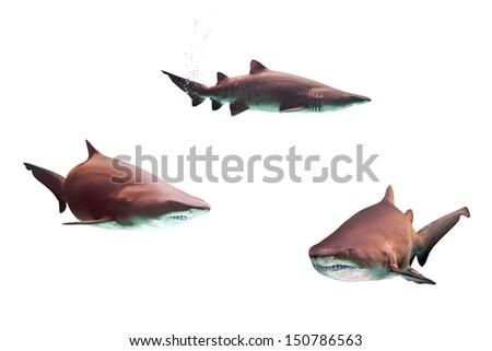 Dangerous bull sharks isolated over white - stock photo