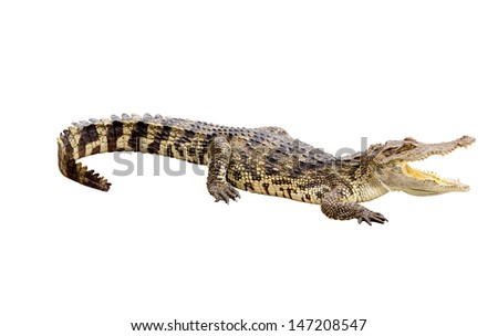 Dangerous crocodile open mouth isolated with clipping path - stock photo