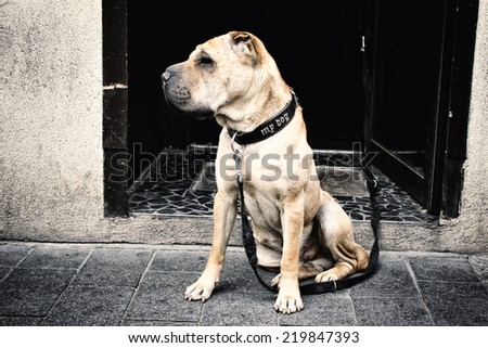 Dangerous dog or vicious dog brown pitbull - stock photo