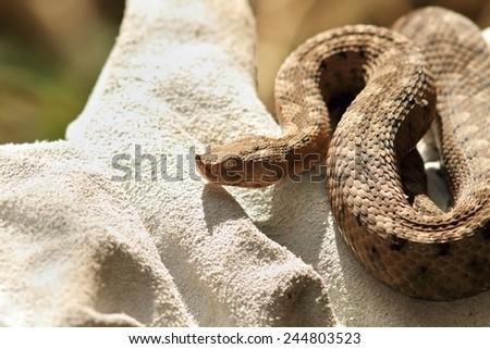 dangerous european snake closeup, herpetologist holding a Vipera ammodytes on protective leather glove - stock photo