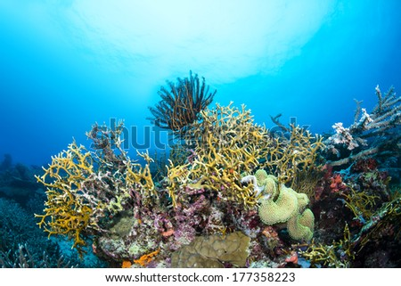 Dangerous fire coral lines a tropical reef in Fiji while a crinoid feeds on plankton suspended in the water column.  - stock photo