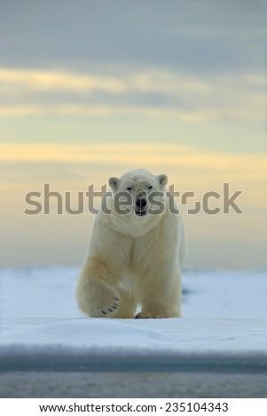 Dangerous looking polar bear on the ice in Svalbard - stock photo