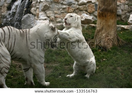 Dangerous looking white tiger with blue eyes - stock photo