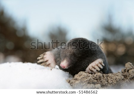 Dangerous mole in molehill, winter, snow - stock photo