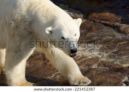 Dangerous polar bear, showing teeth, walking - stock photo