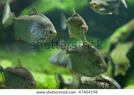 Dangerous Red-breasted Piranha (Serrasalmus Nattereri) - stock photo