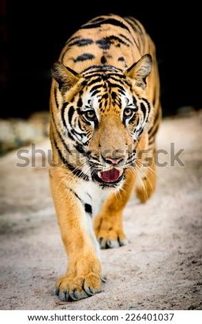 dangerous tiger - stock photo