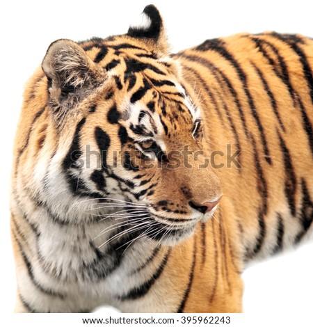 dangerous wild animal striped tiger isolated on white background - stock photo