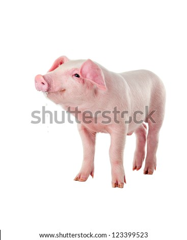 Danish Landrace little pig breeds. Muzzle stained milk. Isolated on white background - stock photo