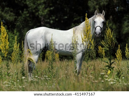 Dapple gray Lusitano horse - stock photo