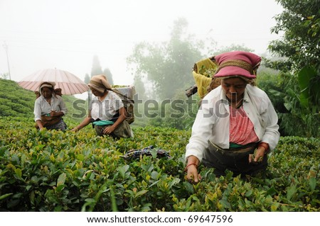 DARJEELING, INDIA - AUGUST 20: Women pick tea leafs on the famous Darjeeling tea garden during the monsoon season on August 20, 2010. The majority of the local population are immigrant Nepalis. INDIA - stock photo