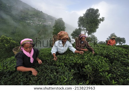 DARJEELING, INDIA,  -?? July. 3. 2014: Women pick up tea leafs by hand at tea garden in Darjeeling, one of the best quality tea in the world, India - stock photo