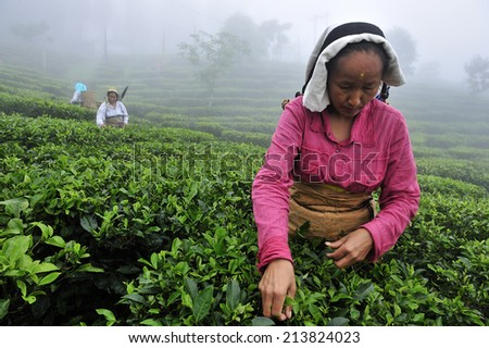 DARJEELING, INDIA,  - July. 3. 2014: Women pick up tea leafs by hand in the fog at tea garden in Darjeeling, one of the best quality tea in the world, India - stock photo