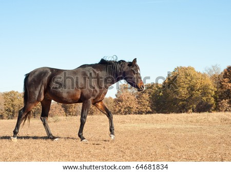 Dark bay Arabian horse walking in the dry fall pasture with muted colors against bright blue autumn sky - stock photo