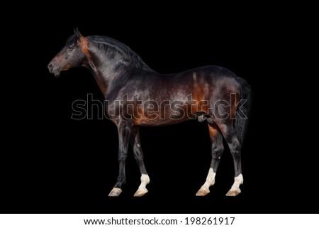 Dark bay horse - isolated on black background - stock photo