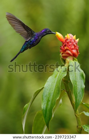 Dark blue hummingbird Violet Sabrewing from Costa Rica flying next to beautiful red flower - stock photo