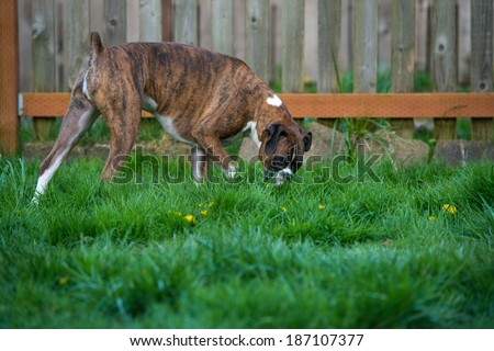Dark Brindle Boxer Dog Walking on Lush Green Grass in Park Sniffing Around - stock photo