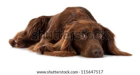 Dark brown spaniel lying on a white background - stock photo