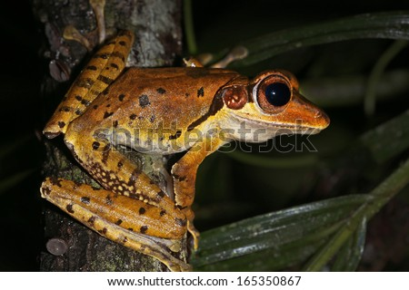 Dark-eared Treefrog (Polypedates macrotis) in the jungles of Borneo. This species has a dark line ('ears') running along the side of the head behind each eye. AKA Borneo Eared Flying Frog - stock photo
